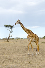 giraffe standing on the masi mari during the evening