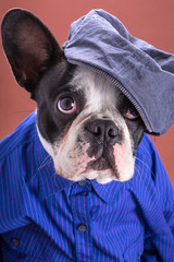 Adorable french bulldog wearing blue shirt on brown background