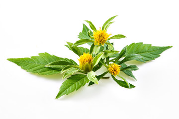 Bur-marigold - Bidens cernua