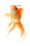 Goldfish with an open snout on white background poster