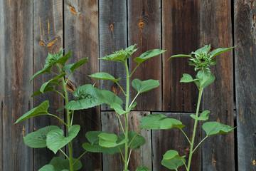 unripe sunflowers