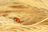 Beautiful ladybird on  wheat ear, close up