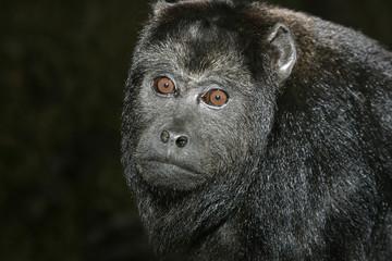 Black-howler monkey, Alouatta caraya