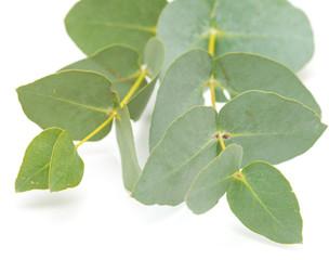 eucalyptus isolated