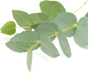 eucalyptus isolated