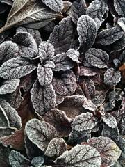 Frosty Bugle Leaves aka Ajuga Reptans Atropurpurea