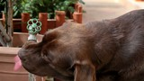 Chocolate Labrador drinking water