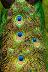 Tail of a Male Peacock