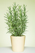 Closeup of a rosemary branch in a light yellow pot