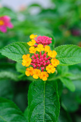 Single beautiful Weeping lantana in garden