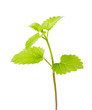 isolated fresh spearmint green branch