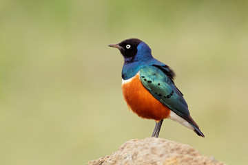 Colorful superb starling (Lamprotornis superbus)