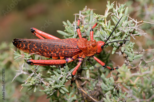 Red pyrgomorphid grasshopper