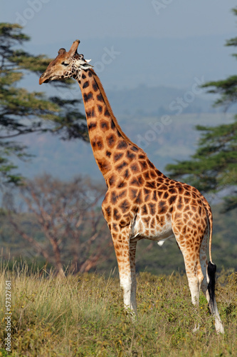 Rothschilds giraffe, Lake Nakuru National Park