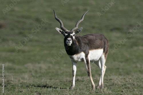 In de dag Antilope Blackbuck, Antilope cervicapra