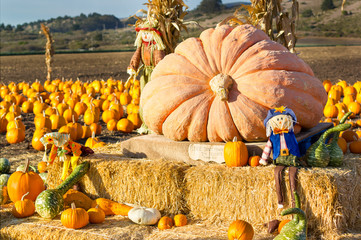 Pumpkin patch in California.