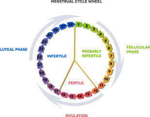 Menstrual cycle wheel. Avarage menstrual cycle.