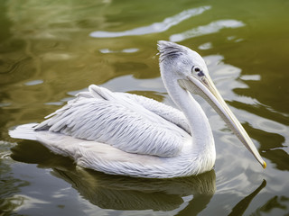 pelicans in the wild