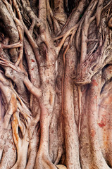Background image of  a tropical banyan tree (ficus benghalensis)