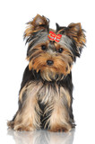 adorable yorkshire terrier puppy
