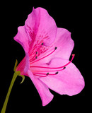 Pink Azalea Blossom Macro with Green Stem Isolated on Black