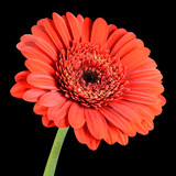 Red Gerbera Flower with Green Stem Isolated on Black