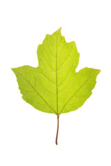 Leaf of of guelder rose isolated on white