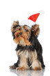 yorkshire terrier puppy in a santa hat