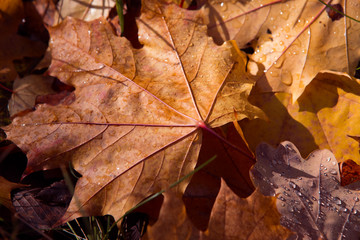 Colorful and bright background made of fallen autumn leaves