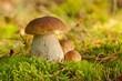 Fungus Boletus, mushrooms in the wild (Boletus pinophilus)