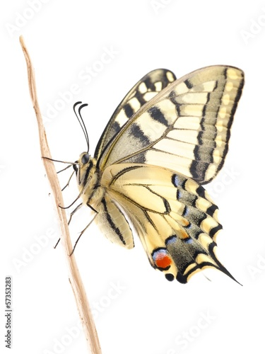 Old World Swallowtail (Papilio machaon) butterfly