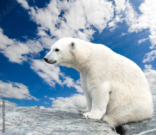 Young polar bear sitting on a stone