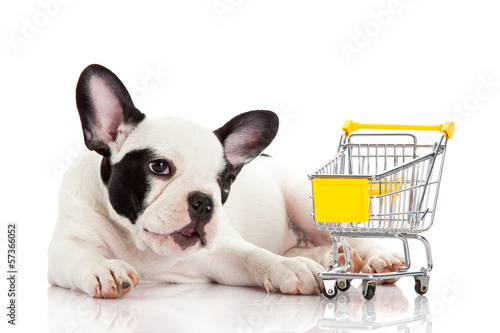 French Bulldog with shopping cart isolated on white. Funny littl