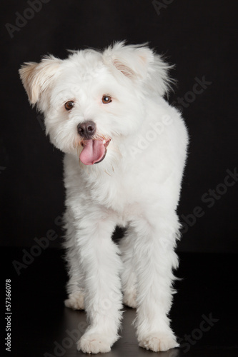 Young white dog on black background