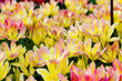 beautiful tulips field.  Beautiful spring flowers. background of