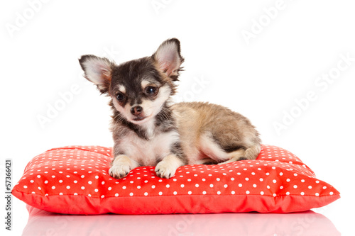 Chihuahua dog on red  pillow isolated on white background. portr