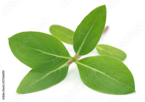 Catharanthus roseus or medicinal Nayantara leaves
