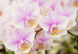 The violet Phalaenopsis