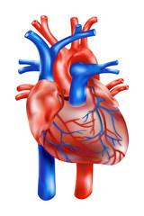 anatomischer Aufbau: Menschliches Herz/ Illustration