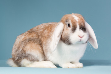 Mini-lop rabbit on a blue background