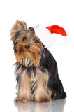 yorkshire terrier puppy wearing santa hat