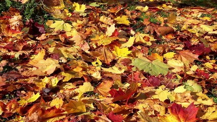 Colorful maple leafs in autumn