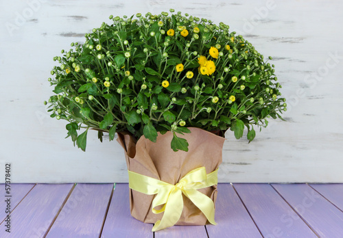 Chrysanthemum bush in pot on wooden table on wooden background