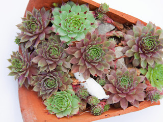 Succulents (Jovibarba hirta) growing in a broken pot