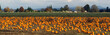 Panoramic Scene Farm Field Pumpkin Patch Vegetables Ripe Harvest - 57380033