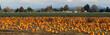 Panoramic Scene Farm Field Pumpkin Patch Vegetables Ripe Harvest - 57380033