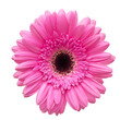 Gerbera flower isolated on white background - 57381895