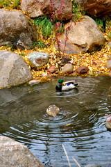 Aspen Ducks