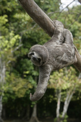 Brown-throated three-toed sloth, Bradypus variegatus