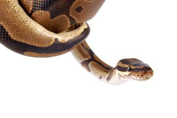Python regius on white background